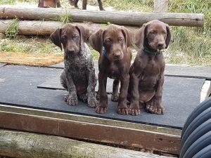 Welpen- / Hunde-Verkauf